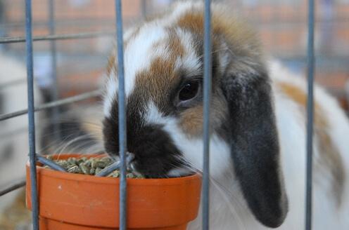 pellet untuk kelinci