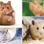 Daftar harga pasaran hamster 2016