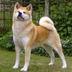 35 Jenis anjing ras yang anda dapat pelihara di rumah