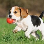 Mulailah melatih anak anjing buang air dengan benar