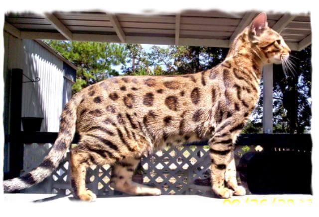 13 Jenis Peranakan Kucing Ras Dengan Bobot Terbesar