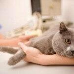 Waspada penyakit distamper pada kucing!