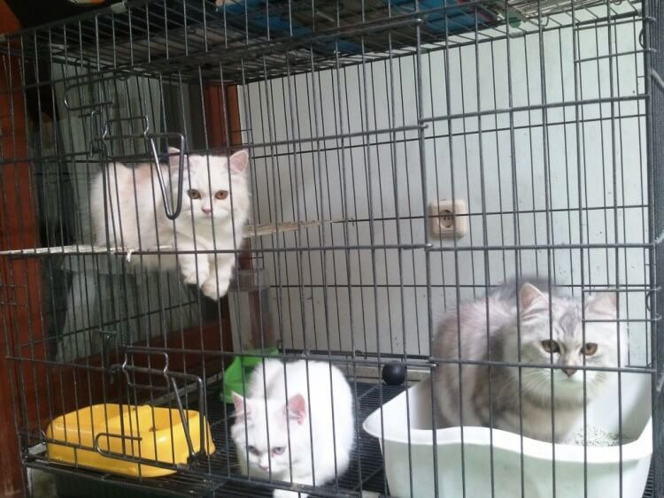 30 Gambar Kucing Anggora Dalam Kandang
