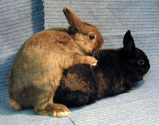 kelinci betina dan jantan