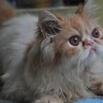 Kenali 4 jenis kucing peranakan persia!