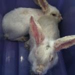 Berbagai jenis penyakit kelinci, pastikan kelinci anda sehat
