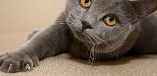 kuku kucing