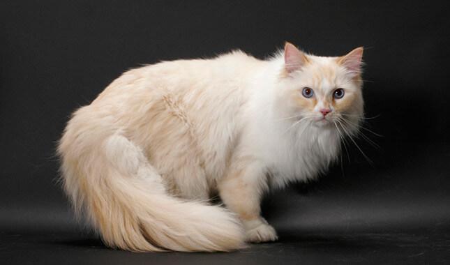 Cara Menggemukkan Kucing Cepat dan Sehat