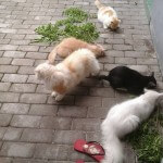 Khasiat tanaman herbal Acalipha indicae untuk kucing!!