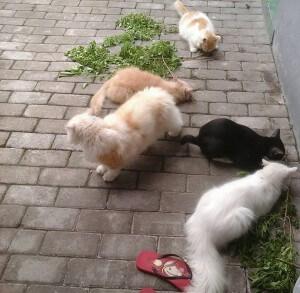 Tanaman herbal kucing