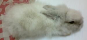 telinga kelinci yang menurun