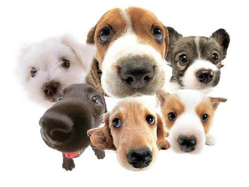 anjing populer
