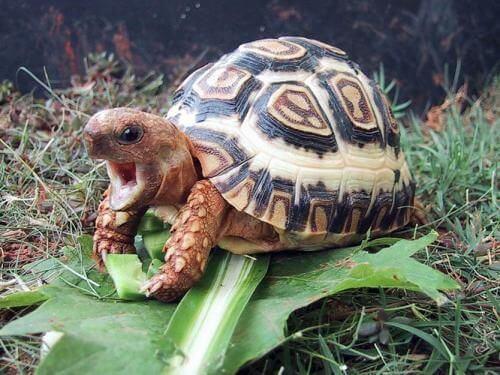 Kura-kura Leopard Tortoise