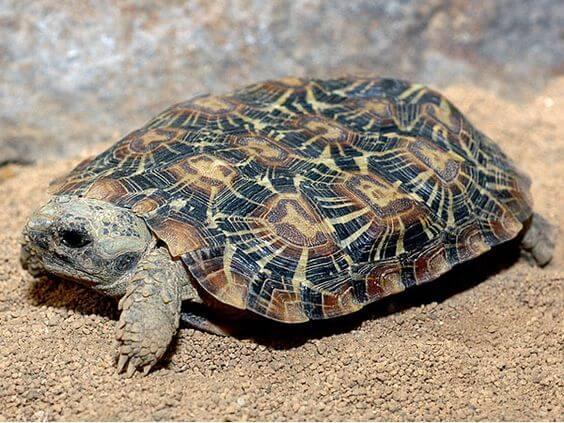 Kura-kura Pancake Tortoise