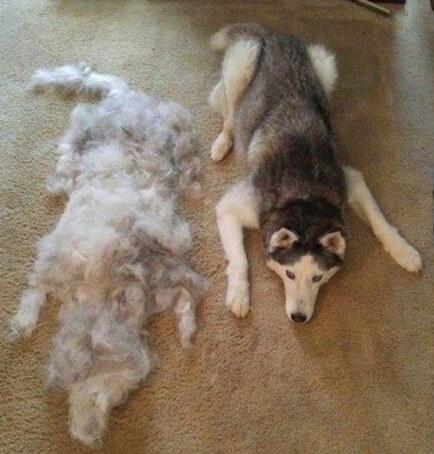 bulu anjing rontok