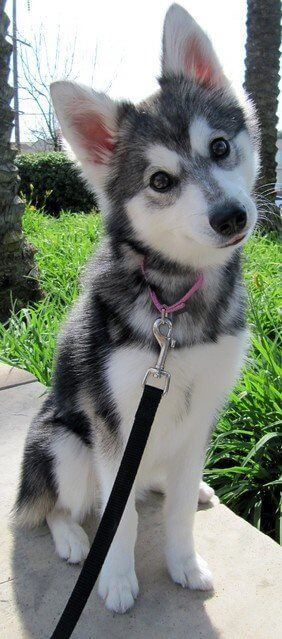 collar siberian husky