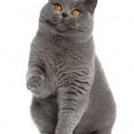 Ingin memiliki kucing british shorthair? baca ini dahulu