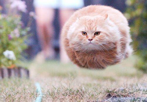 kucing gendut