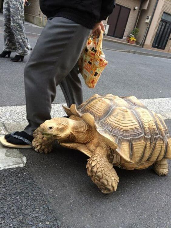 kura-kura African Spurred Tortoise