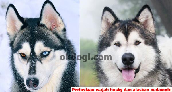 perbedaan wajah husky dan alaskan malamute