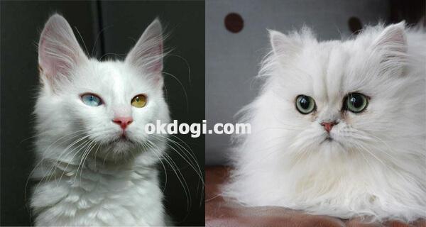 perbedaan wajah kucing angora dan persia