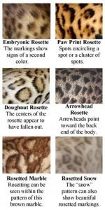 pola warna kucing bengal