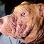 Penyebab utama dan tipe penyakit kulit pada anjing