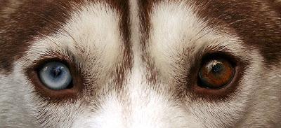 Heterochromia untuk anjing