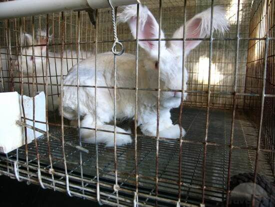 Kandang kelinci anggora