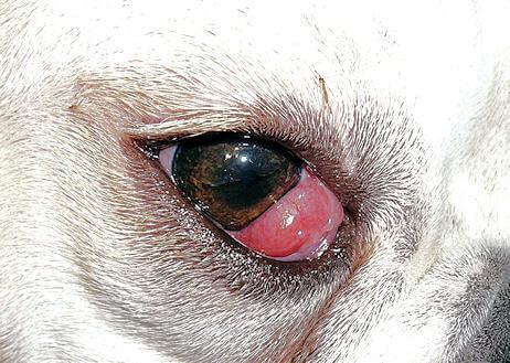 Penyakit mata anjing Cherry Eye