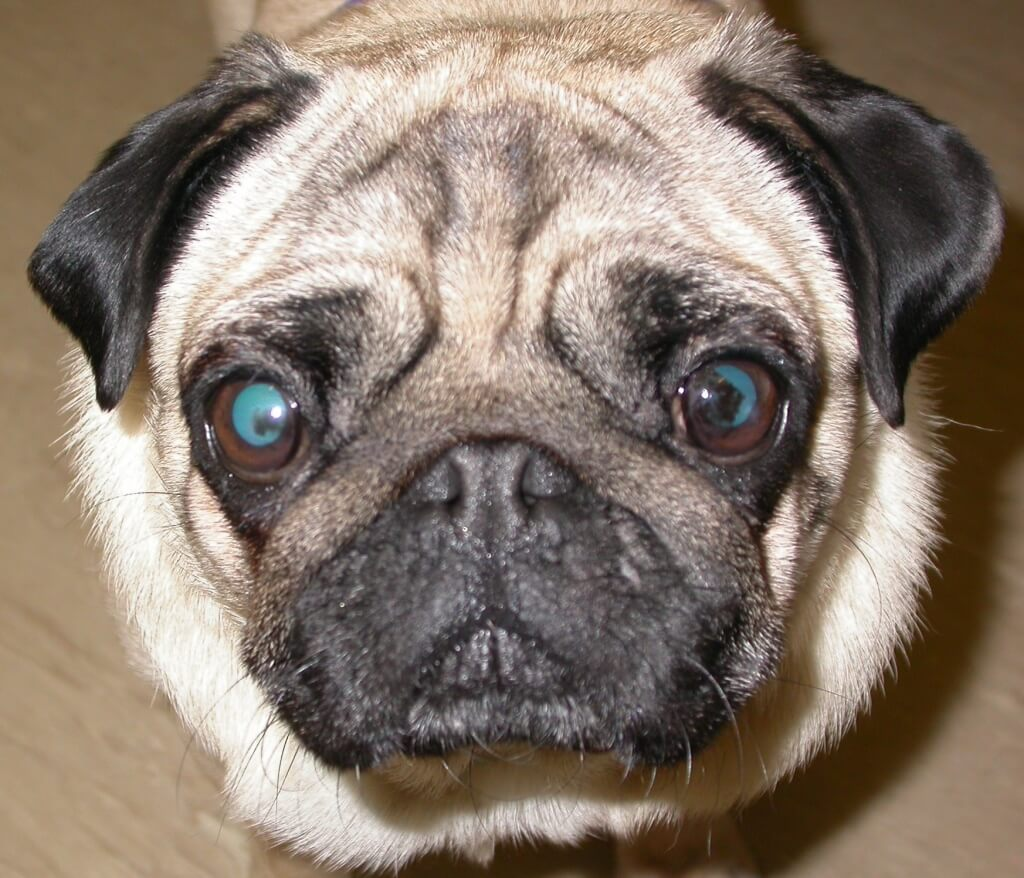 Pigmentary Keratitis pada anjing