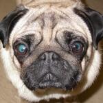 Menyelidiki tipe penyakit mata pada anjing