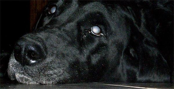 Sakit mata anjing Progressive Retinal Atrophy