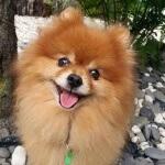 Mengenal anjing lucu menggemaskan pomeranian