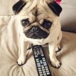 Karakter, perawatan dan profil anjing pug