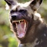 Tanda bahwa anjing terinfeksi rabies, sembuhkan segera!