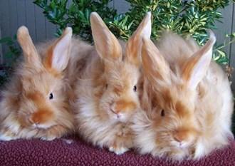 kelinci angora satin