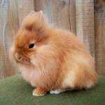 12 Varietas jenis kelinci berukuran mini