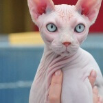 Karakter dan perawatan kucing Sphynx