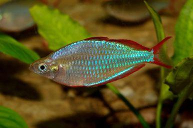 Ikan Dwarf neon Rainbow