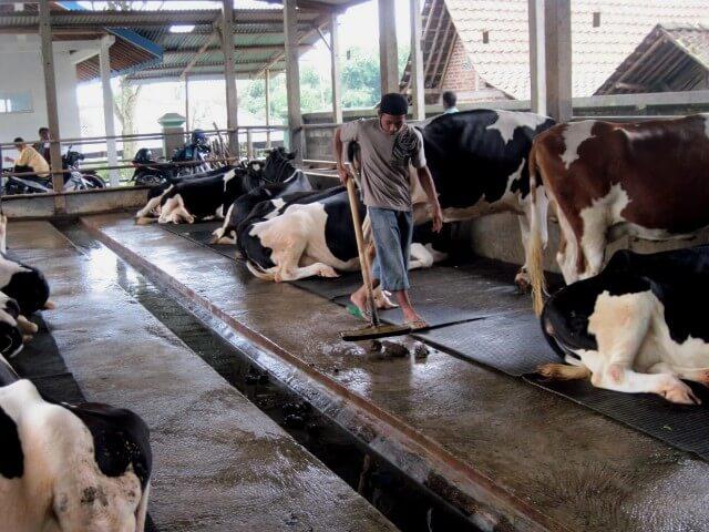 Jaga kebersihan kandang sapi