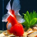 18 Jenis ikan hias yang dapat kalian pelihara dirumah