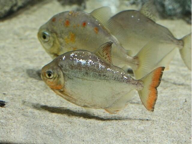 ikan silver dollar