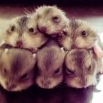 Simak, cara untuk memelihara bayi hamster