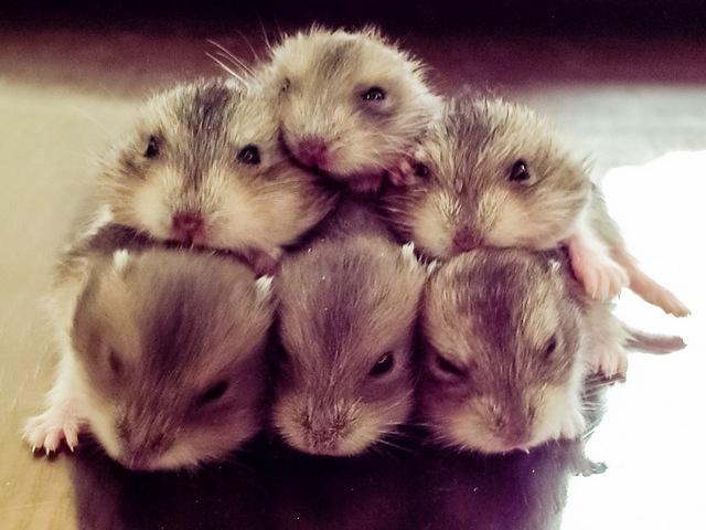 bayi hamster