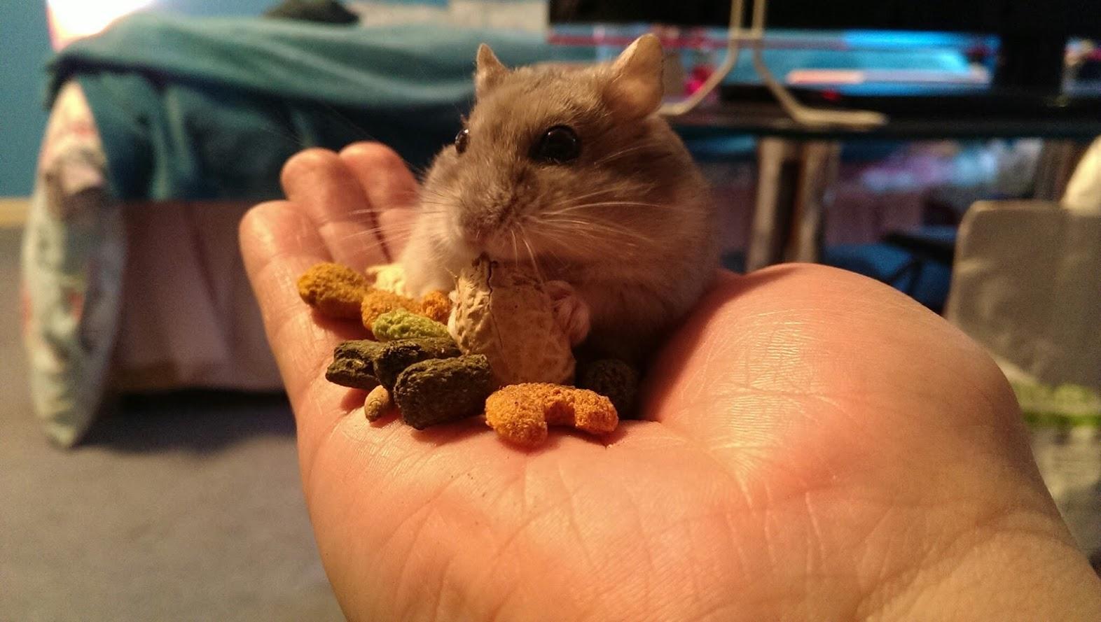 12 Cara Efektif Untuk Menjinakan Hamster Galak Okdogi Com