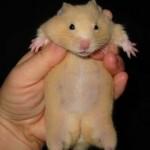 16 ciri hamster saat hamil terlihat dari fisik dan tingkah laku