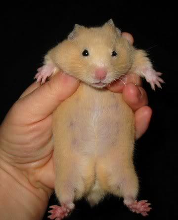 hamster hamil