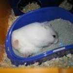 Langkah untuk memandikan hamster dengan pasir khusus