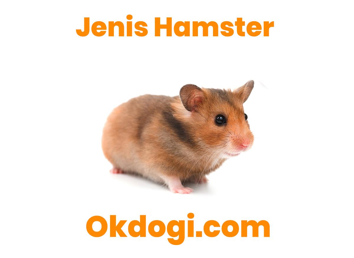 7 Jenis Hamster Paling Populer dan Unik, WAJIB BACA!